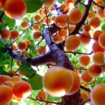 A Rapture of Apricots